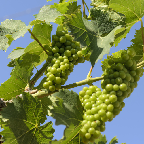 Young bunches of grapes